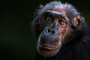 Eastern chimpanzee (Pan troglodytes schweinfurtheii) female 'Sparrow' aged 55 years portrait . Gombe National Park, Tanzania. May 2014.  -  Fiona Rogers