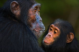 Eastern chimpanzee (Pan troglodytes schweinfurtheii) male 'Sampson' aged 18 years watched by infant male 'Gizmo' aged 4 years . Gombe National Park, Tanzania. May 2014.  -  Fiona Rogers