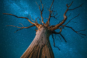 Milky Way over an English oak tree (Quercus robur), at night,   Brecon Beacons National Park International Dark Sky Preserve, Wales UK, December  -  Phil Savoie