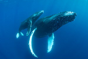 Humpback whale (Megaptera novaeangliae) female and calf. Maui, Hawaii, USA. - Doug Perrine