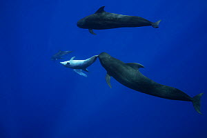 Bottlenose dolphin (Tursiops truncatus), two interacting with two Short-finned pilot whales (Globicephala macrorhynchus). Female Dolphin soliciting attention from Whale by brushing flukes against his...  -  Doug Perrine