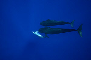 Bottlenose dolphin (Tursiops truncatus) soliciting attention from two Short-finned pilot whale (Globicephala macrorhynchus) males. North Kona Coast, Hawaii, USA.  -  Doug Perrine