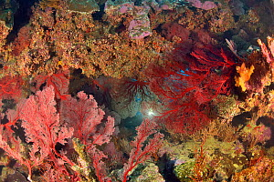 Diver on a coral reef behind bloodred seafans / gorgonians (Melithaea sp. / Subergorgia sp.) New Caledonia, Pacific Ocean. - Pascal Kobeh