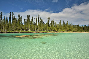 Natural basin in Oro Bay, Ile des Pins, with the New Caledonia pines (Araucaria columnaris) that gave the name to the island, New Caledonia, Pacific Ocean.  -  Pascal Kobeh