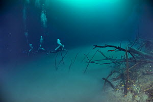Divers in one of the cenotes, Angelita, at the edge of the cloud of sulphur caught between two layers of water at a depth of 30 m, Yucatan peninsula, Mexico.  -  Pascal Kobeh