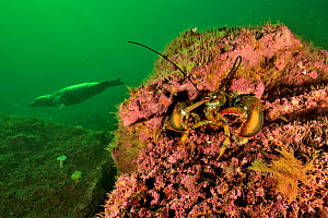 Atlantic / American lobster (Homarus americanus) with a Grey seal (Halichoerus grypus ) swimming in the background, Gulf of Saint Lawrence, Canada - Pascal Kobeh
