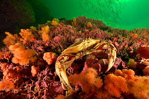 Atlantic rock crab or common rock crab (Cancer irroratus) on the reef, Gulf of Saint Lawrence, Canada.  -  Pascal Kobeh