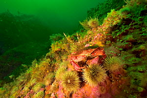 Atlantic / Common rock crab (Cancer irroratus) on the reef in the middle of green sea urchins (Strongylocentrotus droebachiensis) Gulf of Saint Lawrence, Canada - Pascal Kobeh