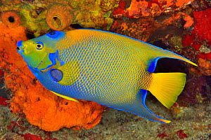 Queen angelfish or blue or golden angelfish (Holacanthus ciliaris) Cozumel Island, Yucatan peninsula, Mexico.  -  Pascal Kobeh