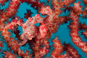 Three Pygmy seahorses (Hippocampus bargibanti) on a  Seafan / Gorgonian (Muricella sp) including  one or several pregnant males. New Caledonia, Pacific Ocean  -  Pascal Kobeh