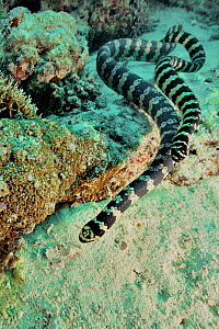 Pair of courting Egg-eating / Turtleheaded sea snakes (Emydocephalus annulatus) New Caledonia, Pacific Ocean.  -  Pascal Kobeh