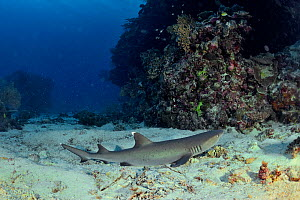 White tip shark (Triaenodon obesus) laying on the sandy bottom, New Caledonia, Pacific Ocean.  -  Pascal Kobeh