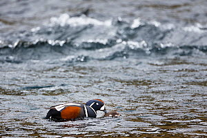 Harlequin duck (Histrionicus histrionicus) male holding female under water as part of copulation. Iceland  -  Espen Bergersen