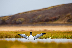 Common Loon (Gavia immer) flapping wings in water, Iceland, May.  -  Espen Bergersen