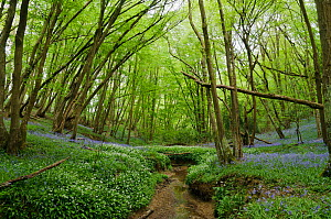 Ramsons or Wild Garlic (Allium ursinum) and Bluebells (Hyacinthoides non-scriptus) growing alongside Welland Ghyll, Glover's Wood Woodland Trust reserve, Charlwood, Surrey, England. April.  -  Linda Pitkin