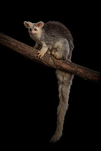 Portrait of a female Greater glider (Petauroides volans) 'Grevillea' on a branch. Captive animal reared from baby, this glider was rescued when trees were cut down in mining operation. Now liv...  -  Doug Gimesy