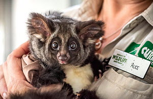 Greater glider (Petauroides volans) female age 7 months, held by her keeper, Alice Roser. This glider is the offspring of two adults which were rescued as babies. Currumbin Wildlife Sanctuary  Currumb...  -  Doug Gimesy