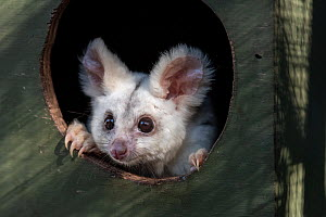 Portrait of a female Greater glider (Petauroides volans) 'Grevillea' in a nest box. Captive animal reared from baby, this glider was rescued when trees were cut down in mining operation. Now l...  -  Doug Gimesy