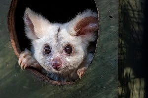 Portrait of a female Greater glider (Petauroides volans) 'Grevillea' peering out of nest box, Captive animal reared from baby, this glider was rescued when trees were cut down in mining operat...  -  Doug Gimesy