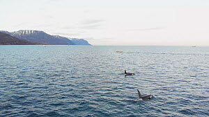 Pod of Killer whales (Orcinus orca) at the surface, northern Norway, November. - Ismaele Tortella