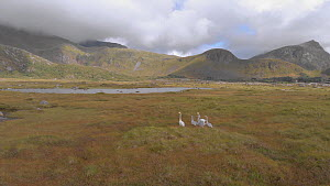 Tracking shot of a Whooper swan (Cygnus cygnus) family walking, Lofoten, northern Norway, August. - Ismaele Tortella