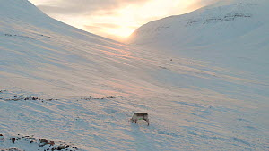 Svalbard reindeer (Rangifer tarandus platyrhynchus) feeding in snow, Svalbard, Norway, March. - Ismaele Tortella