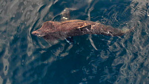 Basking shark (Cetorhinus maximus) feeding, Norway, August.  -  Ismaele Tortella