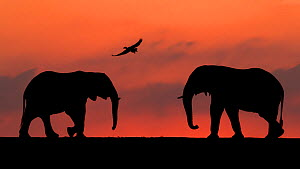 African elephant (Loxodonta africana) two silhouetted at sunset with goose flying overhead, Mkuze, South Africa. Highly commended in the African Wildlife category of the Nature's Best Photography Comp...  -  Bence Mate