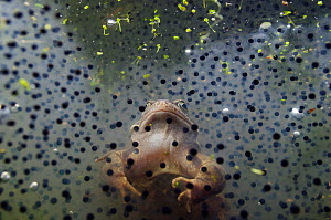 Common Frog (Rana temporaria), and frogspawn in a pond,  Coldharbour, Surrey, England. March. Highly commended in the Animal Portrait category of the BWPA Competition 2019.  -  Linda Pitkin