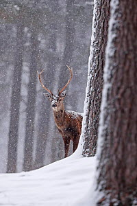 Red deer (Cervus elaphus) stag in snowy pine forest. Cairngorms National Park, Highlands, Scotland, UK, March. Highly commended in the Wild Woods Category of the BWPA Awards 2019.  -  Neil MacIntyre