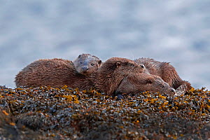 Otter (Lutra lutra) family at rest on seaweed covered rock, taken in the Inner Hebrides, Scotland, UK, November. Highly commended in BWPA Competition 2019. - Neil MacIntyre