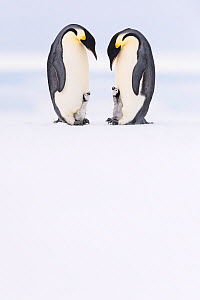 Emperor penguin (Aptenodytes forsteri) two adults brooding chicks age 5 weeks, Antarctica. Highly commended in the Polar Passion Category of the Nature's Best Photography Awards 2019.  -  Stefan Christmann