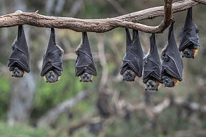 Grey-headed Flying-foxes (Pteropus poliocephalus) hang from a branch. Yarra Bend Park, Kew, Victoria, Australia. November 2019.  -  Doug Gimesy
