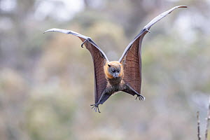 Grey-headed flying-fox (Pteropus poliocephalus) spotting and flaring wings to come in to land on a branch. Yarra Bend Park, Kew, Victoria, Australia. November 2019. - Doug Gimesy