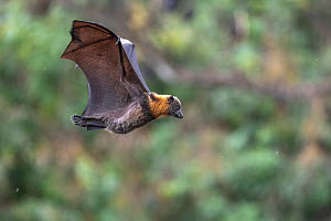Grey-headed flying-fox (Pteropus poliocephalus) in flight flares wings coming in to land, during a light  summer rain shower. Yarra Bend Park, Kew, Victoria, Australia. December. - Doug Gimesy