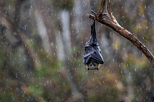 Portrait of a Grey-headed Flying-fox (Pteropus poliocephalus) hanging from a branch with wings wrapped around body  to help keep dry during a summer rain shower.  Yarra Bend Park, Kew, Victoria, Austr... - Doug Gimesy
