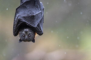 Portrait of a Grey-headed Flying-fox (Pteropus poliocephalus) hanging from a branch with wings wrapped around body  to help keep dry during a summer rain shower. Yarra Bend Park, Kew, Victoria, Austra... - Doug Gimesy