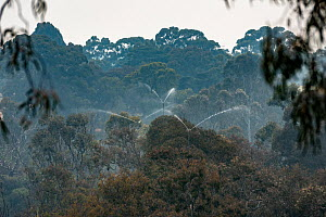 Sprinkler system set up high in the trees at Melbourne's Yarra Bend Grey-headed Flying-fox (Pteropus poliocephalus) colony in an attempt to try and keep them cool during an extreme heat event where te... - Doug Gimesy