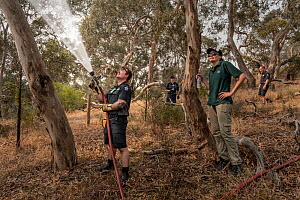 Firefighter from Melbourne's Metropolitan Fire Brigade (MBF) try and help cool down the Yarra Bend Grey-headed Flying-fox (Pteropus poliocephalus) colony by spraying water on them.  Park Ranger and... - Doug Gimesy