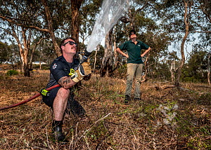 Firefighter from Melbourne's Metropolitan Fire Brigade (MBF) try and help cool down the Yarra Bend Grey-headed Flying-fox (Pteropus poliocephalus) colony by spraying water on them. Park Ranger and Gre...  -  Doug Gimesy