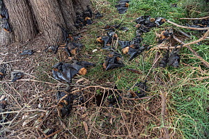 During an extreme heat-stress event at Melbourne's Yarra Bend Grey-headed flying-fox (Pteropus poliocephalus) colony,  where temperatures exceeded 43°C, Grey-headed flying-fox (Pteropus poliocephalus...  -  Doug Gimesy