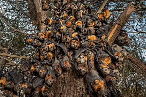 During an extreme heat-stress event at Melbourne's Yarra Bend Grey-headed Flying-fox (Pteropus poliocephalus) colony, where temperatures exceeded 43�C, in a desperate search for somewhere cooler and l...  -  Doug Gimesy