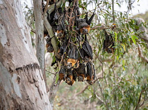During an extreme heat-stress event at Melbourne's Yarra Bend Grey-headed Flying-fox (Pteropus poliocephalus) colony, where temperatures exceeded 40°C, Grey-headed Flying-foxed (Pteropus poliocep... - Doug Gimesy