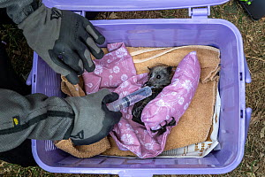 During an extreme heat-stress event at Melbourne's Yarra Bend Grey-headed Flying-fox colony, where temperatures exceeded 40°C, Melbourne Zoo veterinarian Sarah Frith gives in-field triage to a suffer...  -  Doug Gimesy