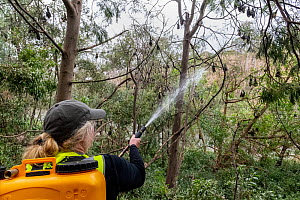 Volunteer bat rescuer Tracy Cleaves, spraying water t to cool down some Grey-headed Flying-foxes (Pteropus poliocephalus) that have descended from the safety of higher branches, in an attempt to escap...  -  Doug Gimesy