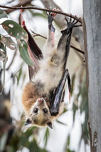 Portrait of a young pup Grey-headed Flying-fox (Pteropus poliocephalus) with piebaldism (a rare genetic condition, typically present at birth, in which an animal develops unpigmented) hangs from a tre...  -  Doug Gimesy