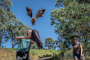 Parks Victoria ranger and Grey-headed Flying-fox Project Officer Stephen Brend, releasing a Grey-headed flying-fox (Pteropus poliocephalus) back to Yarra Bend Park, which was in care. Watched on by wi...  -  Doug Gimesy