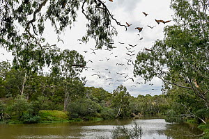 Grey-headed flying-fox (Pteropus poliocephalus) flying over the Yarra River, Melbourne. Watched on by wildlife rescuer Louise Bonomi. Fairfield, Victoria, Australia. March.  -  Doug Gimesy