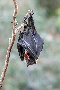Grey-headed flying-fox (Pteropus poliocephalus) that has just given birth, eats the placenta. Yarra Bend Park, Kew, Victoria, Australia. October.  -  Doug Gimesy