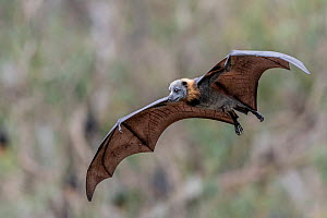 Grey-headed flying-fox (Pteropus poliocephalus) flying during a very light rain shower. Yarra Bend Park, Kew, Victoria, Australia. November.  -  Doug Gimesy
